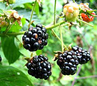 blackberries.photo.jpg