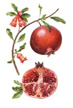 pomegranate-botanical.jpg